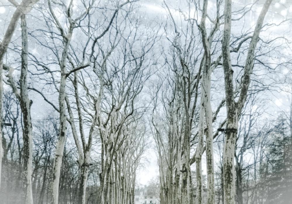白樺の並木